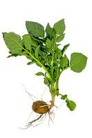 Komplette junge Kartoffelpflanze mit Knolle und Blättern freigestellt auf Weiß