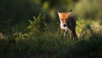 Focused red fox staring into camera and licking mouth in summer at sunset