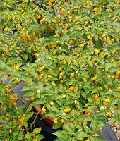 Gemuesechili, Capsicum chinensis