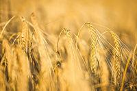 Getreidefeld im Licht der untergehenden Sonne