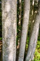 Scaly looking bark of Red Alder tree, Alnus rubra, Vancouver Island, BC, Canada