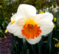 Narzisse, Narcissus, April Queen