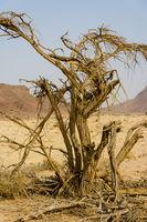 Wüste - toter Baum