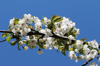 Sunlit blooming branch of fruit tree and clear blue sky at background on sunny day