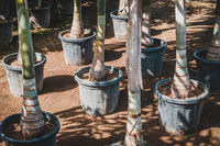 palm trees in pots in tree nursery or garden store