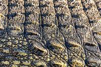 big Crocodile skin background detail