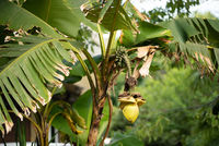 Blossoming flower of banana and small fruits in a summer garden