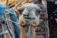 Portrait of a camel