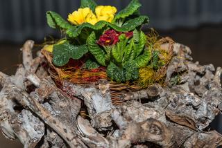 Baumwurzeln und blühende Primeln als kreative Frühlingsdekoration - Nahaufnahme
