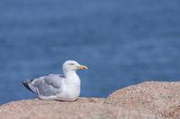 Moewe sitzt auf einem Granitfelsen, Bretagne