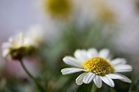 Argyranthemum frutescens, Strauchmargerite, native to the Canary Islands