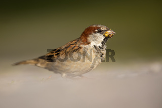 Cute house sparrow male sitting on the ground and looking into camera in summer