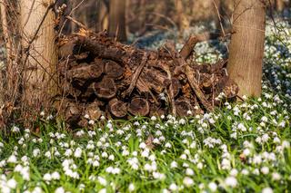 Märzenbecher Wiese Ballenstedt Harz