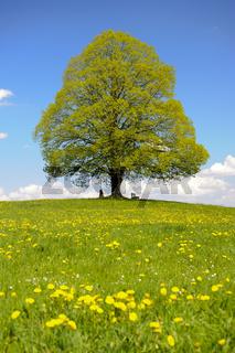single linden tree