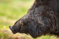 Wild boar head with tusks looking on grassland in spring in detail