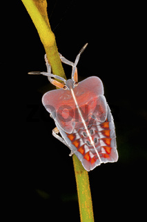 Tessaratomidae Bug on tree, Amboli, India