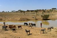 Rinder und Esel an einer Wasserstelle in den Hawzien Ebene, Tigray, Äthiopien