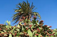 Kaktusfeige auf der Insel La Gomera