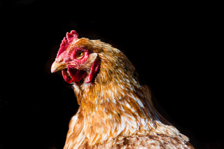 portrait of red hen isolated on black background