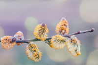 pussy-willow holiday, spring background