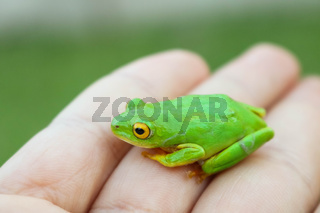 green frog with yellow eyes sitting on womans hand