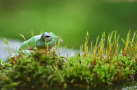 Green flying frog in the moss