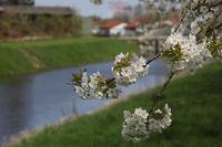 Kirschblüte im Aten Land