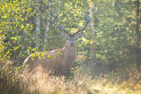 Alert red deer stag facing camera on a meadow near forest in summer nature