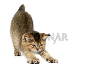 Kitten golden ticked british chinchilla straight on white isolated background