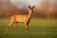 Innocent roe deer doe looking aside from side view on sunny spring evening.