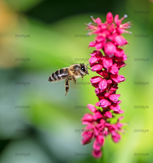 Bee flying to a red knotweed flower
