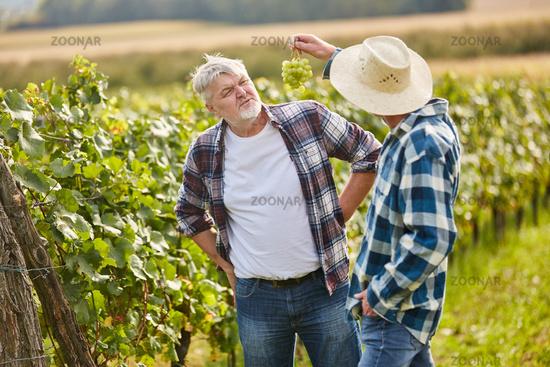 Zwei Winzer betrachten eine Rebe Weintrauben
