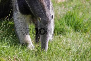 Giant Anteater (Myrmecophaga triductyla)