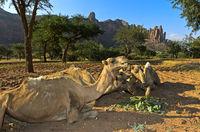 Kamele an einem Futterplatz in der Hawzien Hochebene am Fuss der Gherelta Berge