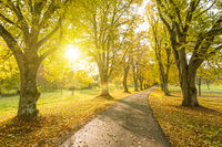Beautiful tree-lined county road in autumn with sun shining through the yellow leaves of the trees