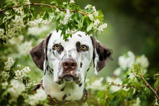 Dalmatian dog sitting under a hawthorn