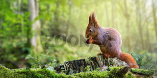 Cute red squirrel eating a nut in green spring forest with copy space