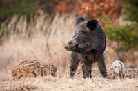 Peaceful wild boar herd with adult and young feeding in spring nature.