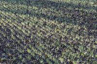Feld mit frischen Sprösslingen von Wintergetreide
