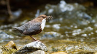 White-throated dipper holding insect in beak on rock.