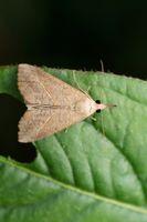 Dryleaf Moth, Hypena proboscidalis, Satara, Maharashtra, India
