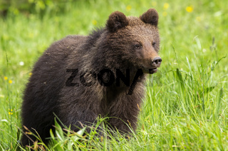 Baby brown bear cub standing on meadow with green grass in spring