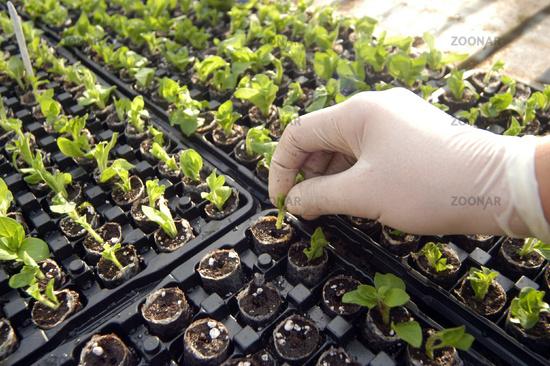 preparing seedlings before planting them in the field