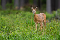 Cute roe deer doe looking into camera inside spring forest with copy space.