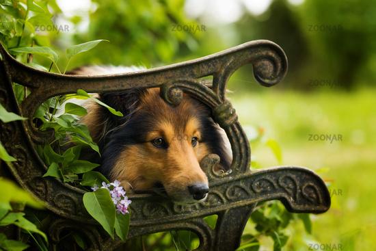 Sheltie dog lying on a old garden bench