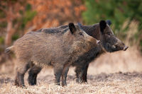Two alert wild boars standing on field in autumn nature
