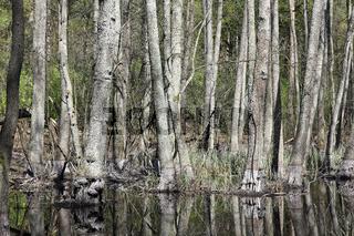 Bäume im Erlenbruchwald im Briesetal in Brandenburg im Vorfrühling