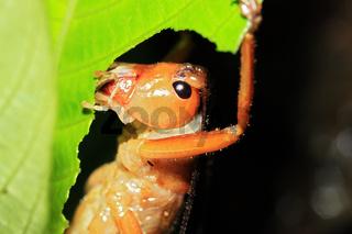 Cricket Feeding on a Leaf