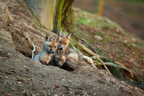 Fluffy red fox cubs exploring surroundings of their den in spring forerst