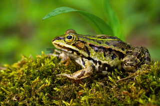 Inconspicuous edible frog hiding below a green leaf in summer